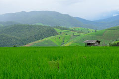 Green rice field in mountain Royalty Free Stock Images