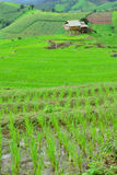 Green rice field in mountain Stock Image