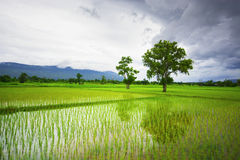 Green rice field with a mountain backdrop Royalty Free Stock Photos