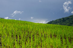 Green Rice Field. On mountain in blue sky day Stock Image