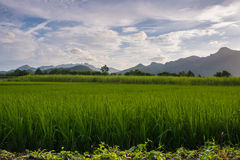 Green Rice Field with Mountains Background, Thailand. Green Rice Field with Mountains Background under Blue Sky, Thailand Royalty Free Stock Images
