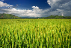 Green Rice Field with Mountains Background under Blue Sky Royalty Free Stock Photo