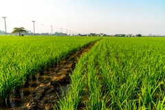 Green rice field and muddy ground with cloudy sky in rural area. 1 royalty free stock image