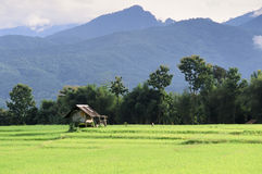 Green Rice Field in Naan province Stock Photo