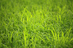 Green rice field in the nature of Thailand Stock Photography