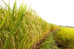 Green rice field Royalty Free Stock Photos