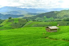 Green rice field at Pa Bong Piang village Stock Image