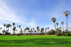 Green Rice Field with the palm tree Stock Photo