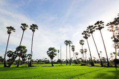 Green Rice Field with the palm tree Royalty Free Stock Photos