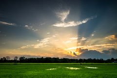 Green rice field and perfect sunset Royalty Free Stock Photography