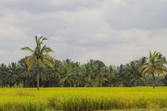 Green Rice Field Photo Royalty Free Stock Photography