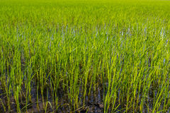 Green rice field plantation which needs to stand in the water an Royalty Free Stock Photography