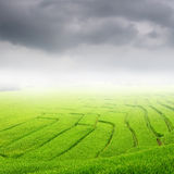 Green rice field and rainclouds for background Royalty Free Stock Images