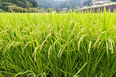 Green rice field ready to harvest in Aso, Japan Stock Images