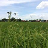 Green rice field. Rural green rice field stock photos