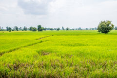 Green rice field in rural Royalty Free Stock Images