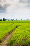 Green rice field in rural Royalty Free Stock Image
