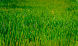 Green rice field in SE Asia Royalty Free Stock Images