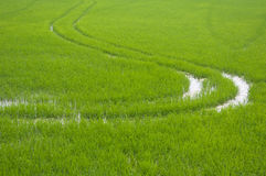 Green rice field. Green rice seedlings in farmland Royalty Free Stock Images