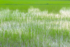 Green rice field Royalty Free Stock Image