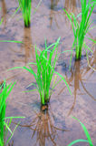 Green rice field show agriculture background Royalty Free Stock Photography