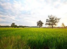 Green rice field with sky Stock Photography