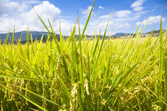 Green rice field with sky and cloud background Stock Photo