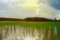 Green rice field with sky and cloud in sunrise Royalty Free Stock Photos