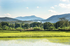 Green rice field with sky and cloud Royalty Free Stock Images