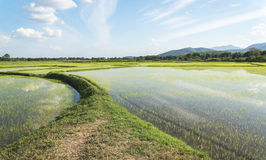 Green rice field with sky and cloud Stock Image