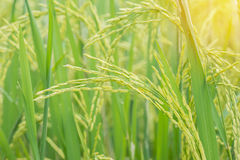 Green rice field with sun light effect,agricultural concept. Royalty Free Stock Images
