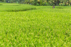 Green rice field at Sunny day. Agriculture. Royalty Free Stock Photos