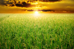 Green rice field in sunset Stock Image