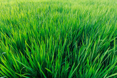 The green rice field in sunshine. The fresh green rice field in sunshine royalty free stock photography