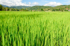 Green rice field in Tana Toraja Stock Photos
