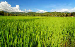 Green rice field in Tana Toraja Stock Images