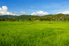 Green rice field in Tana Toraja Stock Photography