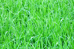 Green rice field terrace Royalty Free Stock Photography