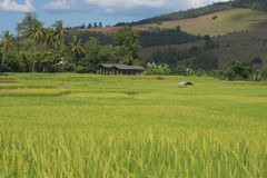 Green Rice field terrace. Rice field terrace at mae-jam chiangmai northern of thailand Stock Image