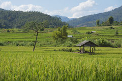 Green Rice field terrace. Rice field terrace at mae-jam chiangmai northern of thailand Royalty Free Stock Photography