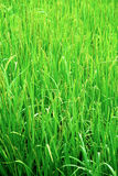 Green rice field texture wallpaper. Nepal Stock Photo