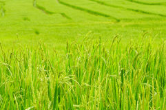 Green rice field in Thailand Royalty Free Stock Images