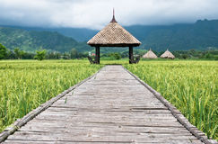 Green rice field in Thailand. Hut  in Green rice field in Thailand Royalty Free Stock Image