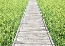 Green rice field in Thailand. Pathway to Green rice field in Thailand Royalty Free Stock Photography
