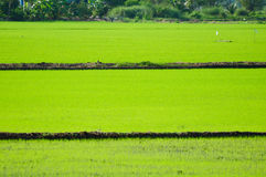 Green rice field in Thailand. Image of green rice field in Thailand Stock Photo