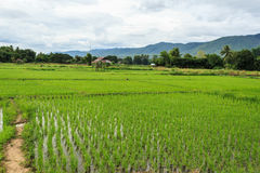 Green rice field. In Thailand Royalty Free Stock Photos