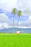 Green rice field Stock Images