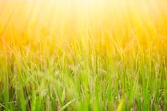 Green rice field with sun shine. Green rice field in Thailand with golden sun shine Royalty Free Stock Photography