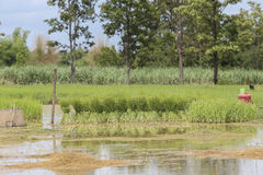 Green rice field in Thailand Royalty Free Stock Photos