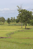 Green rice field in Thailand Stock Photo